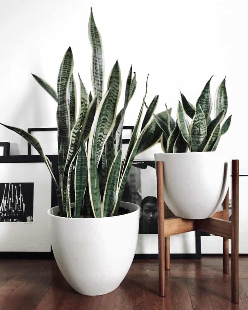 Snake-plants-in-modern-planters